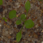 Plant Seedlings Dataset – Computer Vision and Biosystems Signal